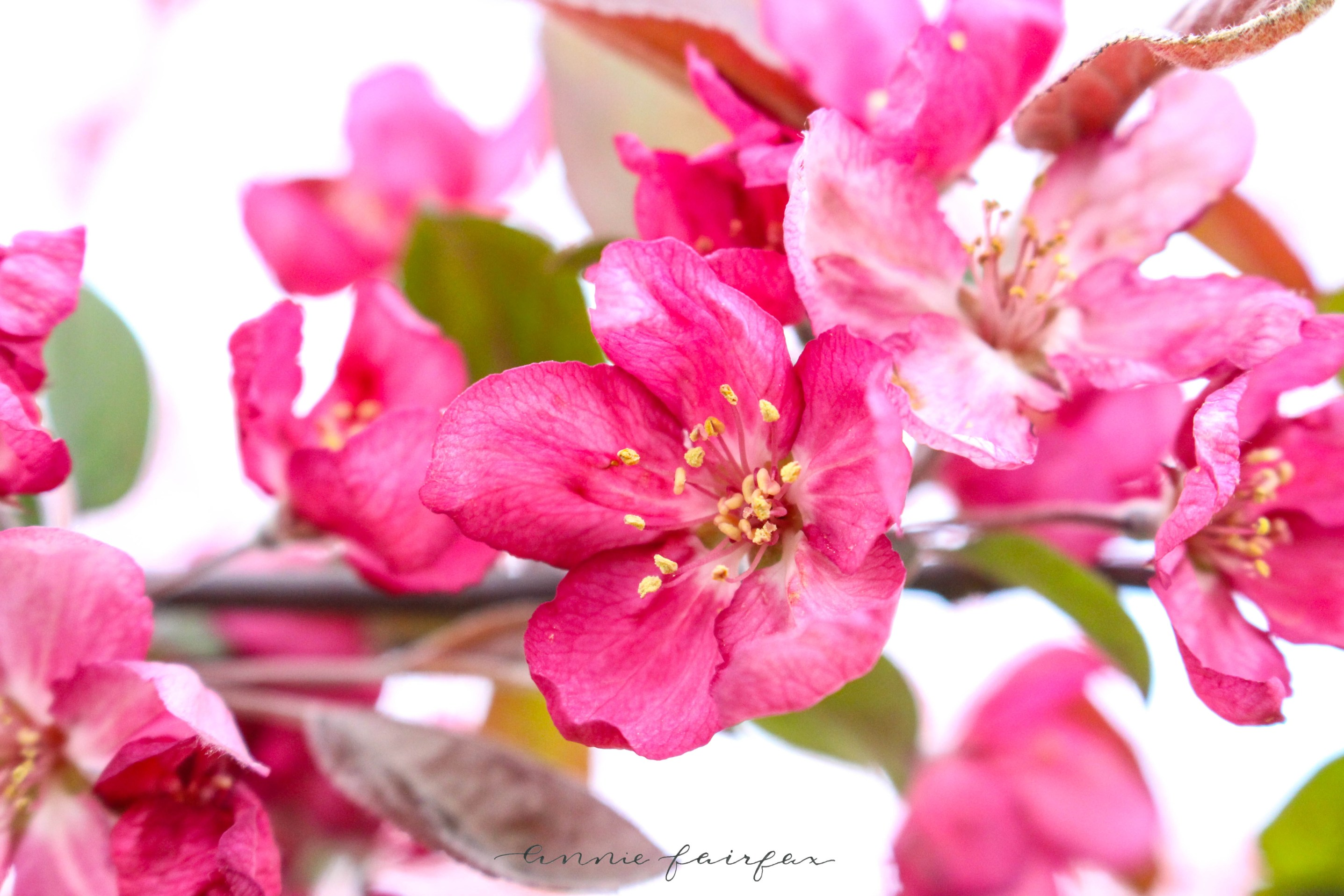 Crab Apple Blossoms Pink White Red Trees Blossoming Bushes Annie Fairfax
