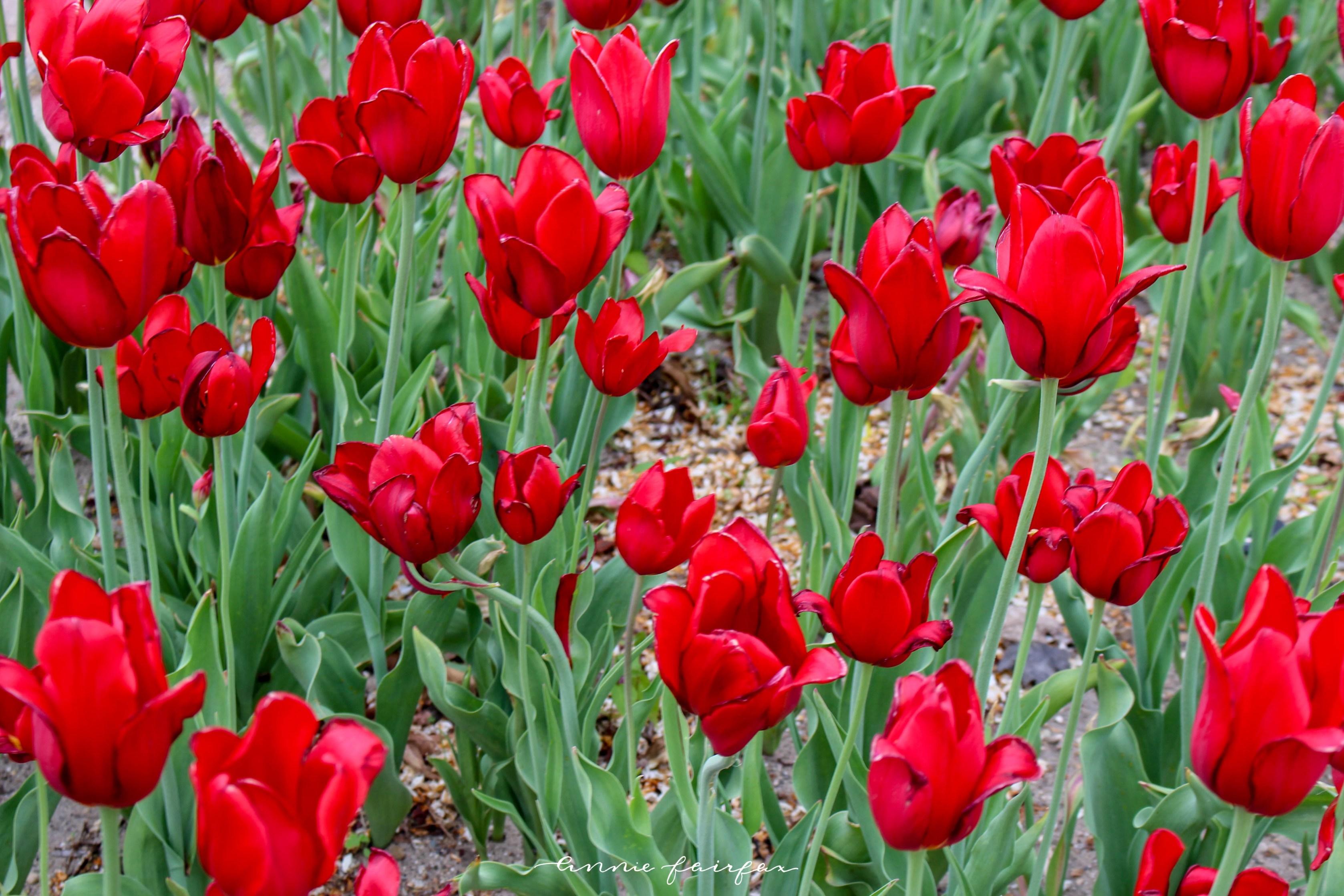 Tulip Time Festival in Holland, MI Tulips