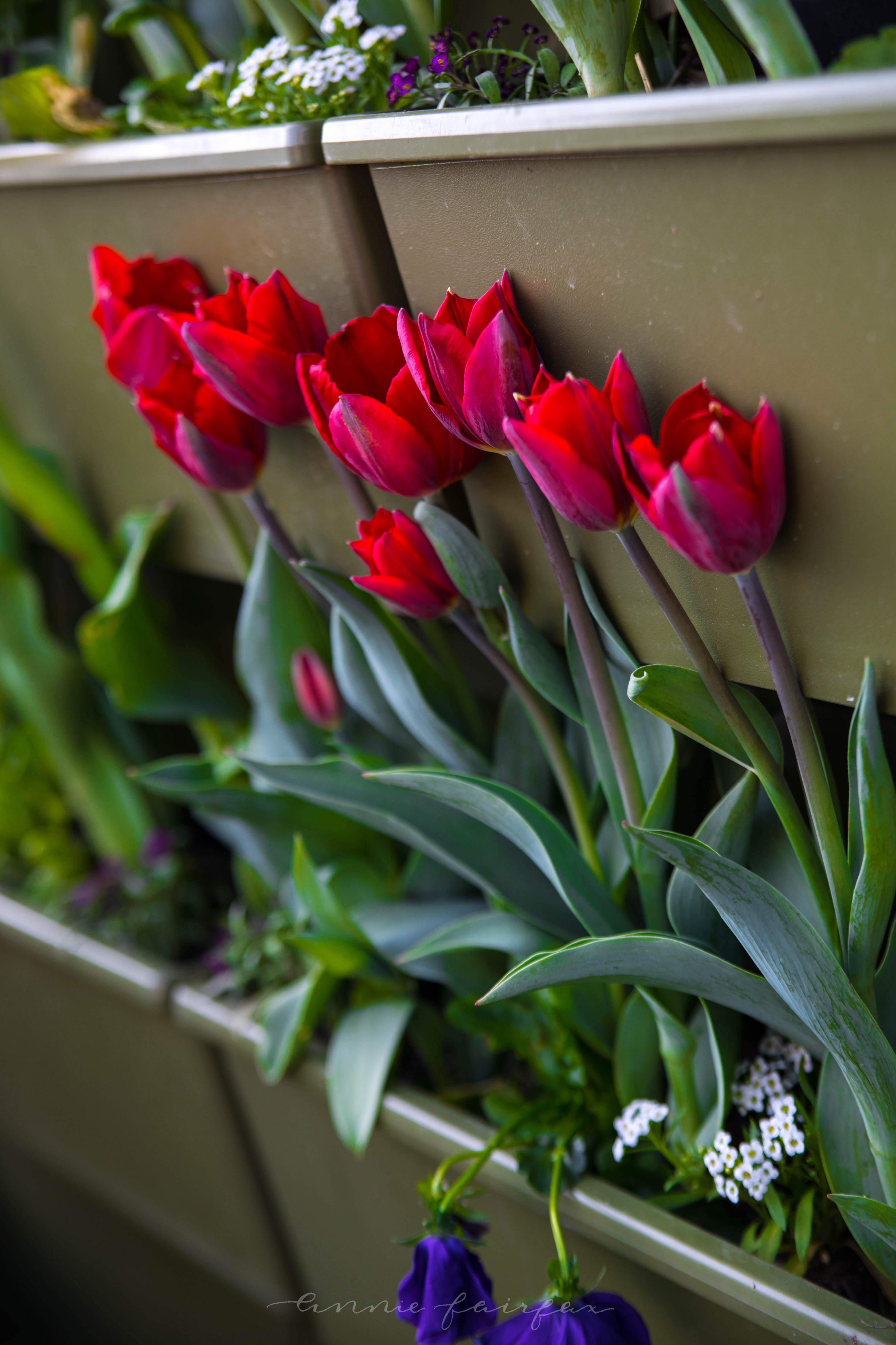 Tips for Visiting Tulip Time Festival in Holland - Annie Fairfax