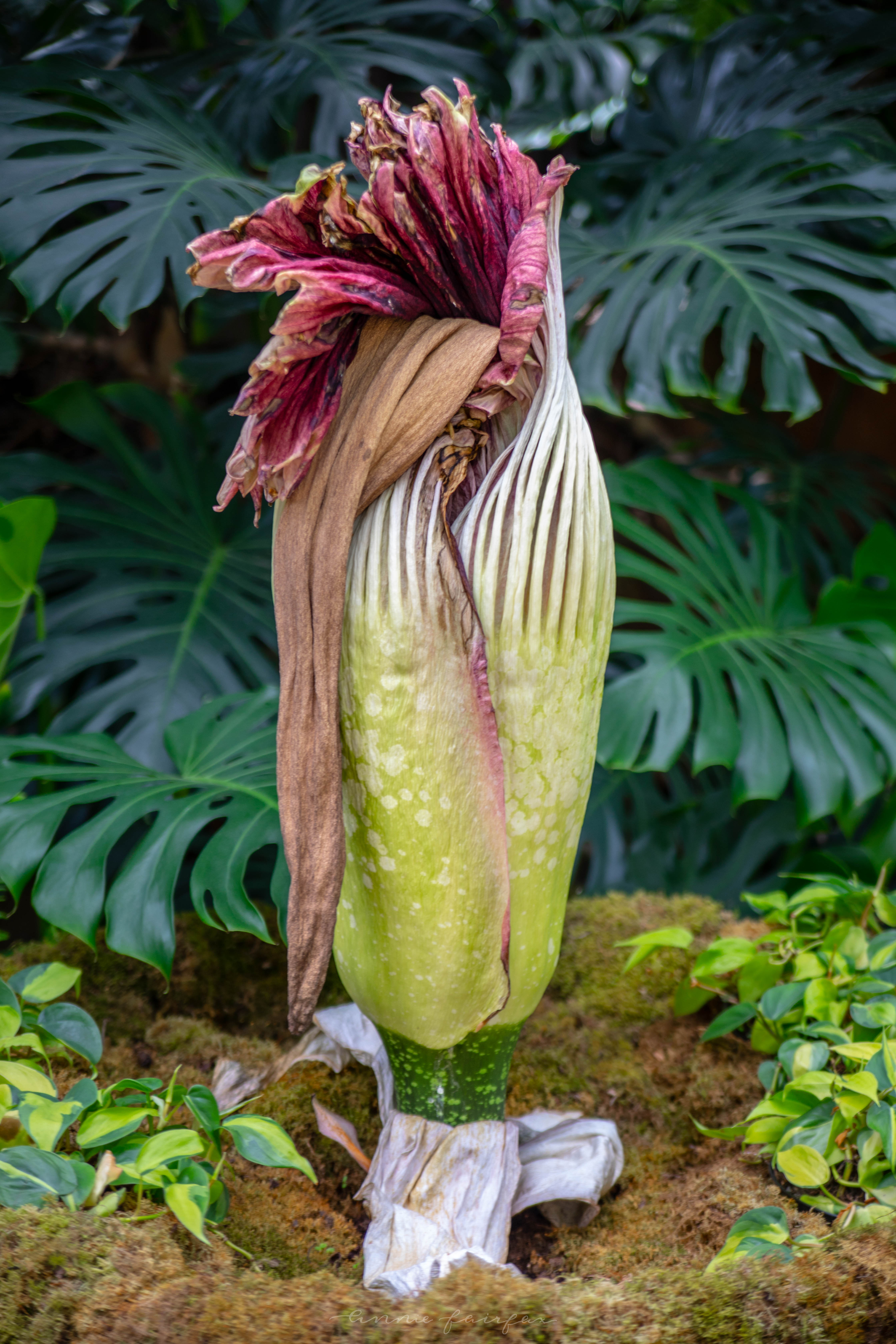 Corpse Flower Blooming at Frederik Meijer Gardens and Sculpture Park