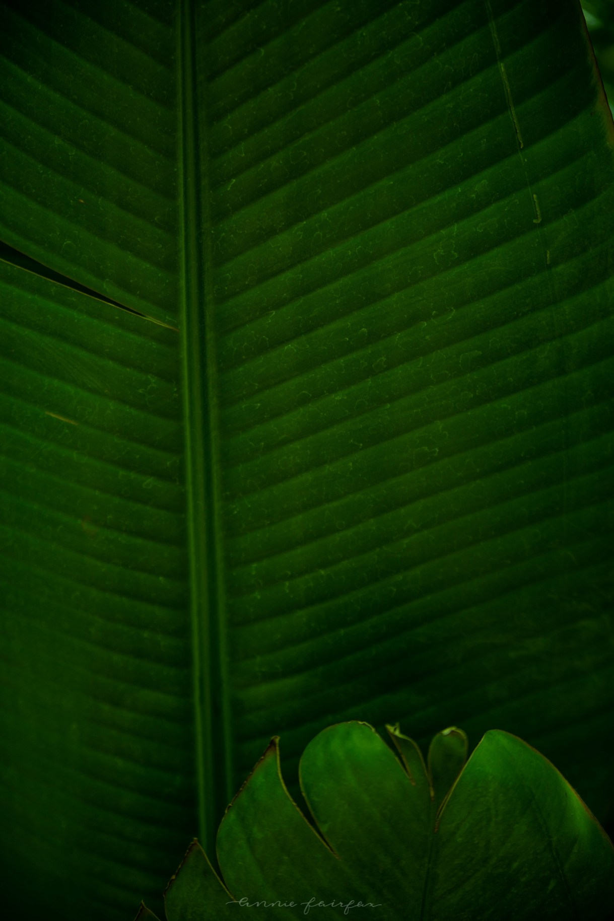 Green Tropical Leaf Background Image Copyright Annie Fairfax Philodendron Palm Leaves Banana Leaf
