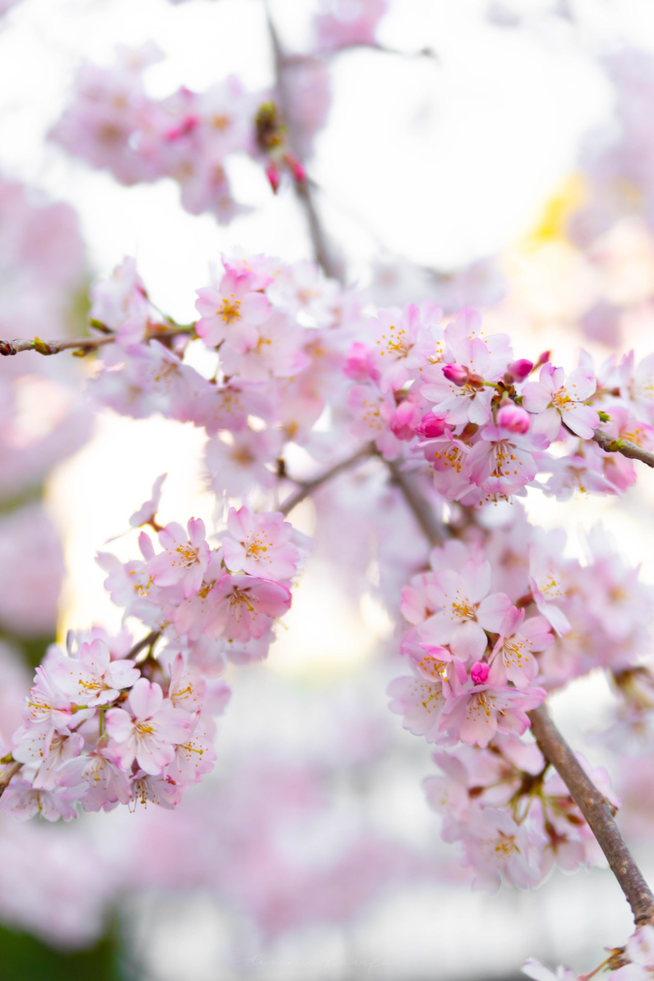 Cherry Blossom Viewing Spots Around Japan Where to see Cherry Blossoms in Japan Cherry Blossom Forecast