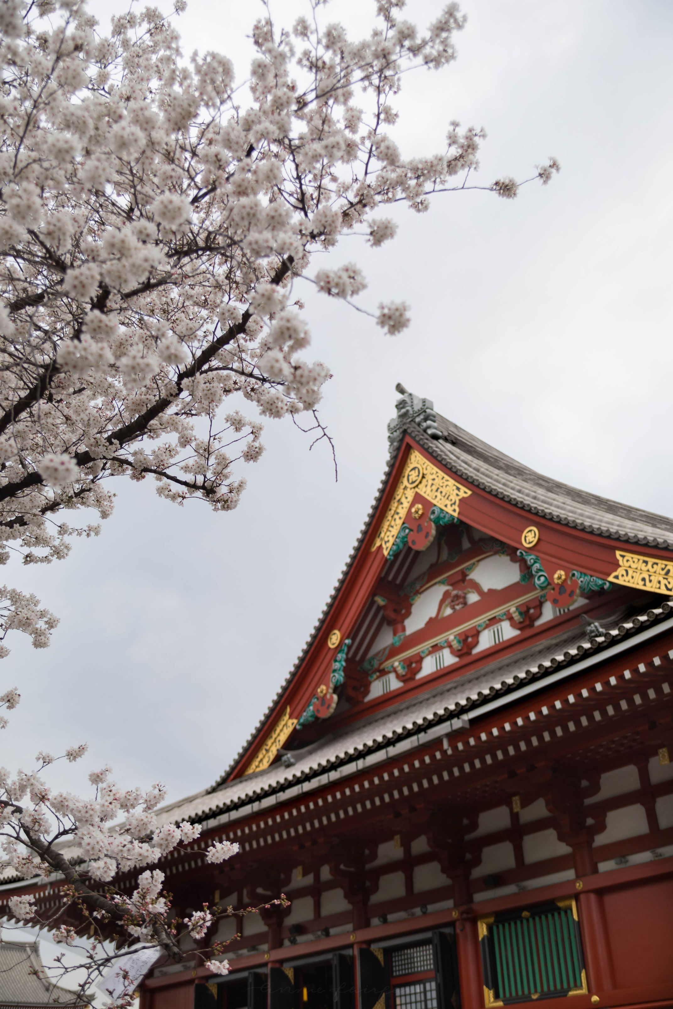 Cherry Blossoms Sakura Senso-Ji Temple Asakusa Kannon Buddhist Temple in Tokyo, Japan Shrine with Massive Red Japanese Paper Lanterns Near Tokyo Sky Tree Goddess of Mercy by Annie Fairfax Where to Visit Tokyo Things to do In Tokyo, Japanese Travel Tourism Trip Inspiration Pictues of tokyo Japan