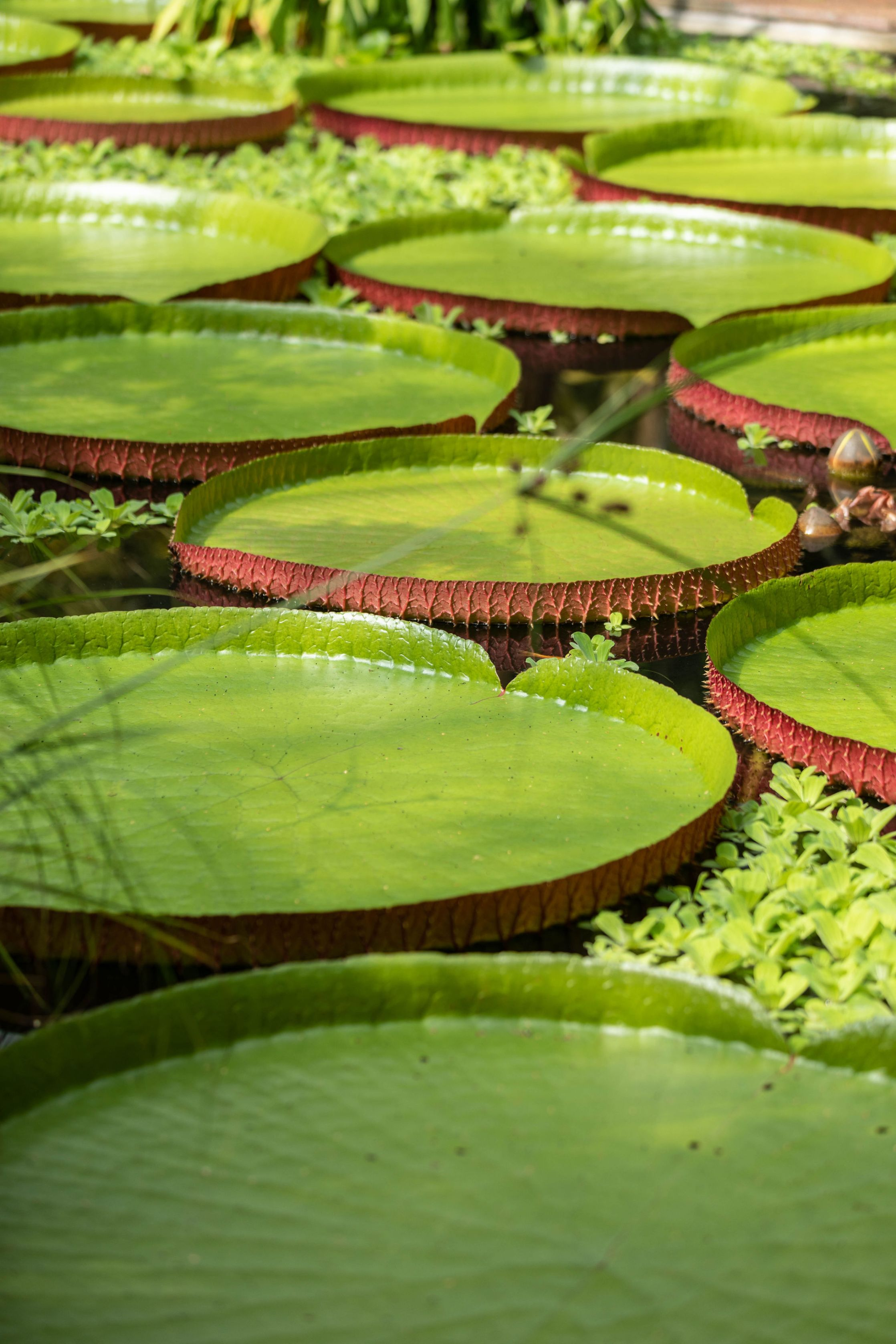 Victoria Amazonica Giant Water Lilies at Royal Botanic Garden in Edinburgh, Scotland United Kingdom Gardens Glasshouses