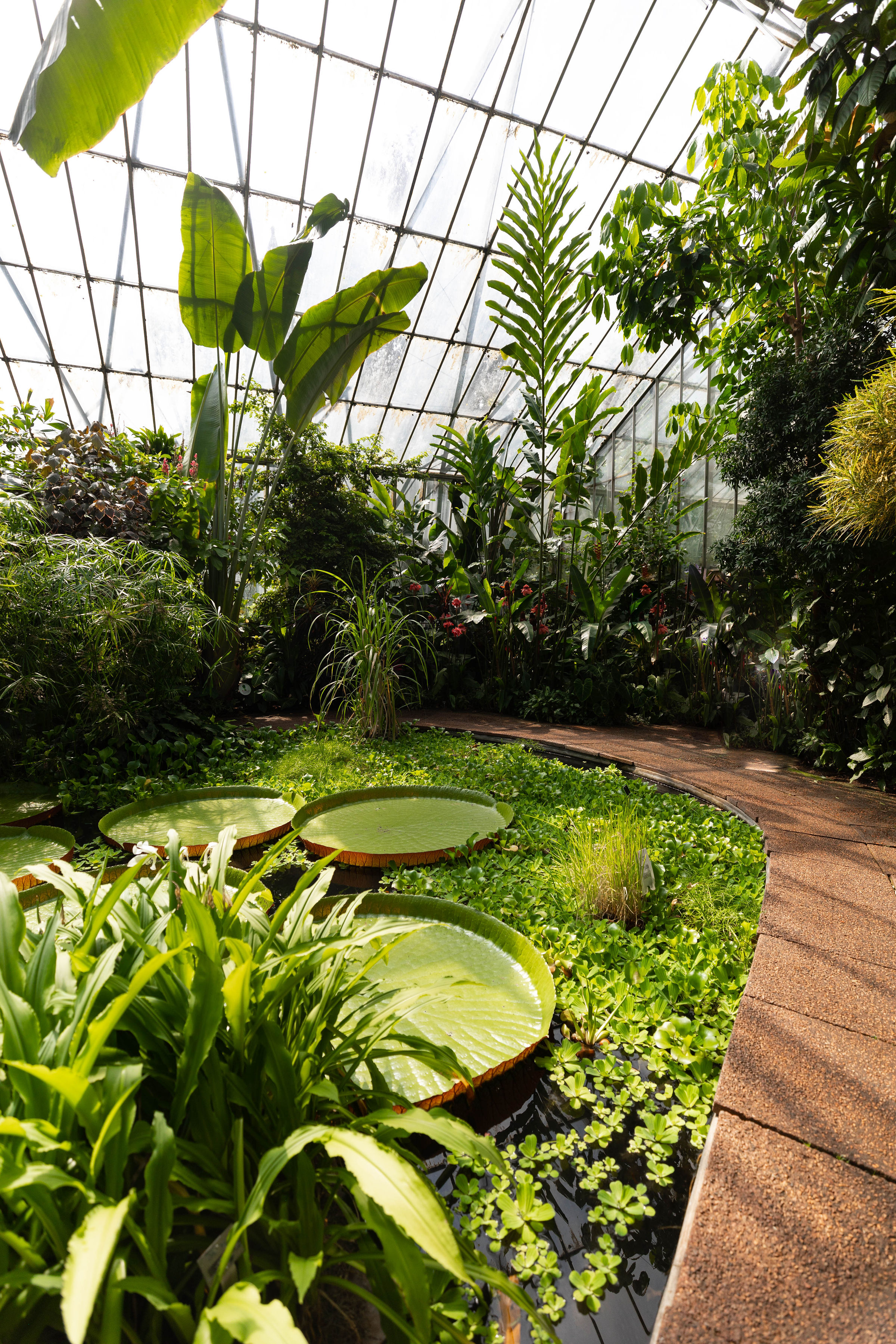 Victoria Lilies, Giant Waterlilies at Royal Botanic Gardens Edinburgh in Edinburgh, Scotland United Kingdom
