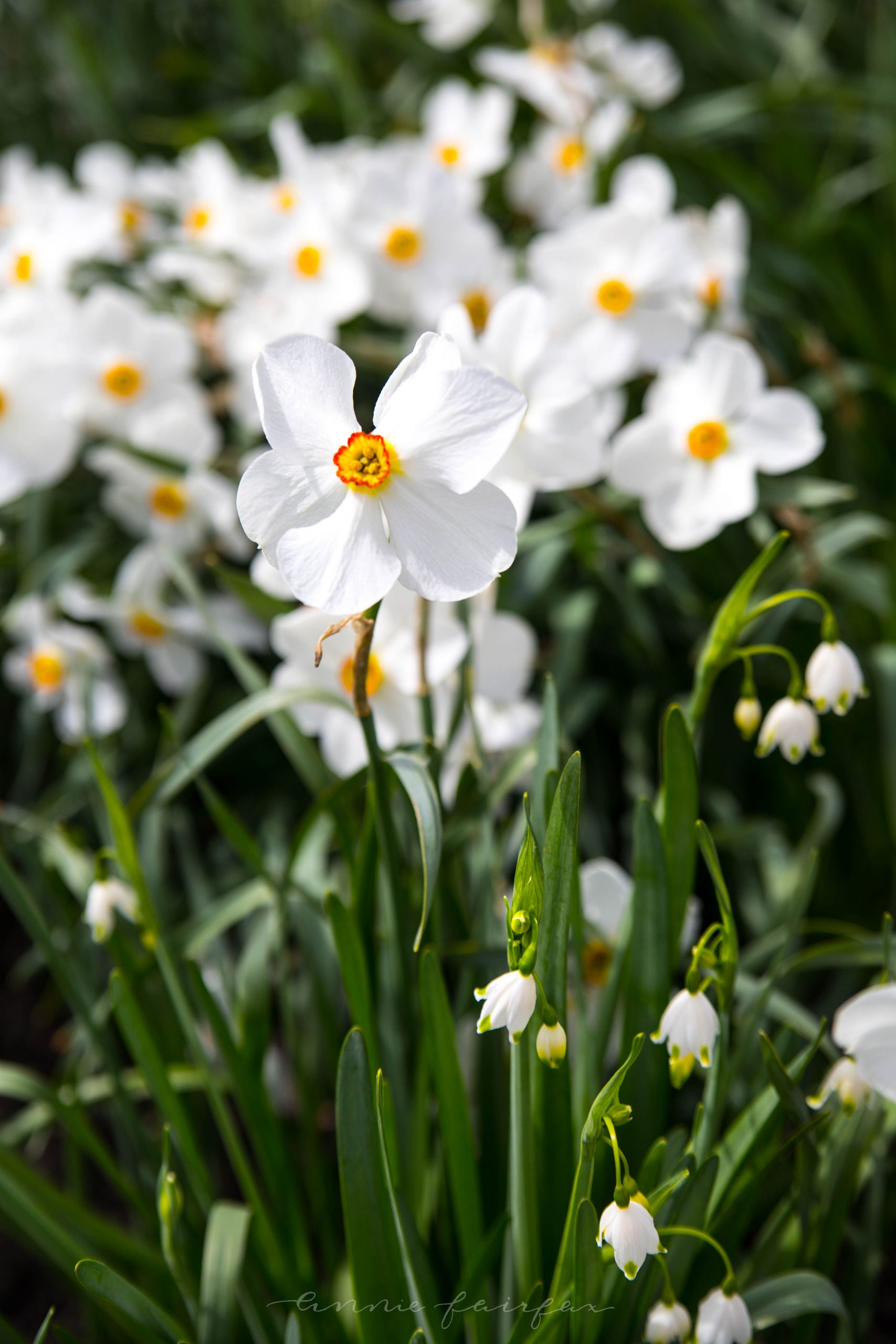 Narcissus Flowers by Annie Fairfax
