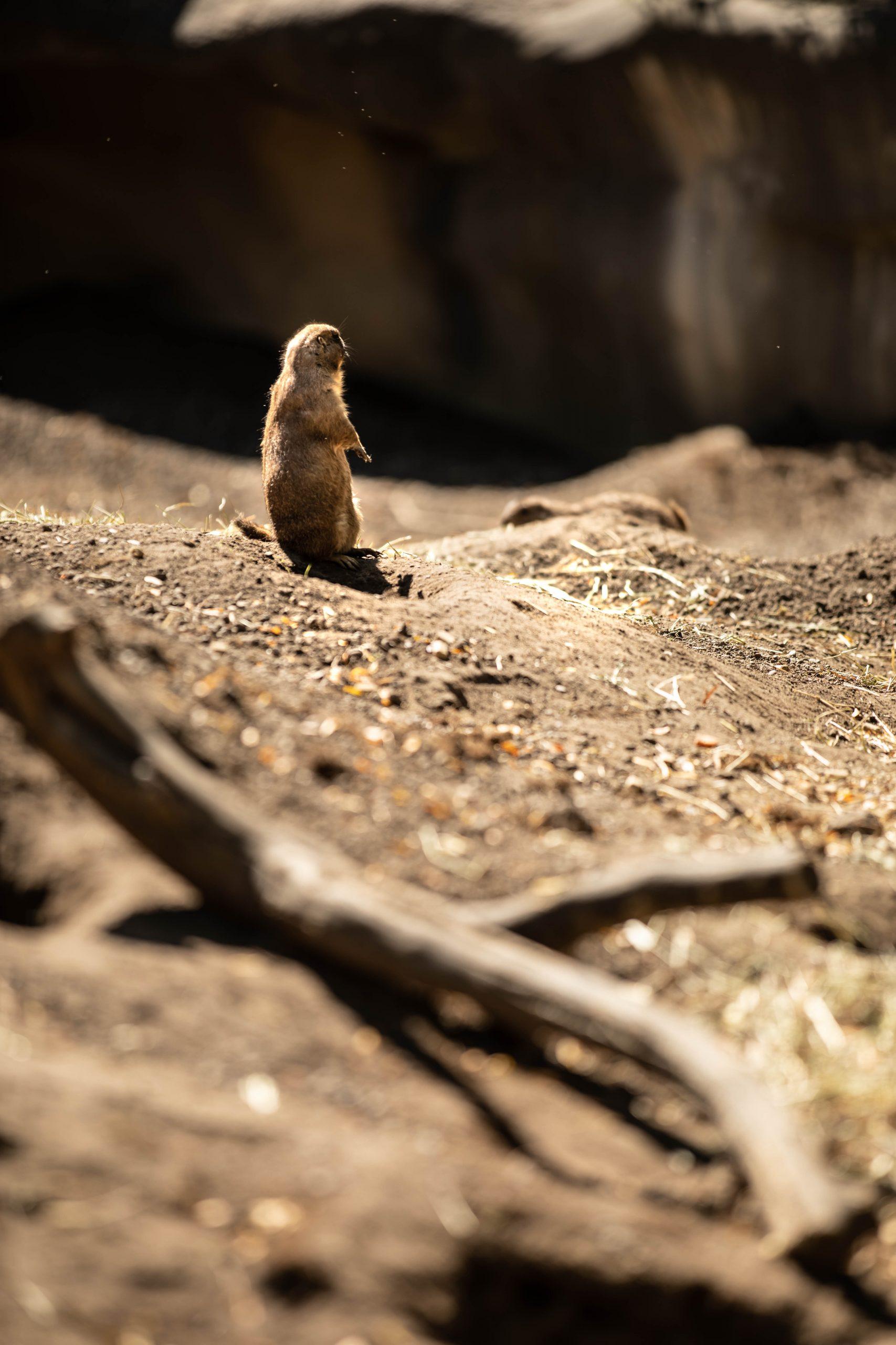 Prairie Dog at the Detroit Zoo in Royal Oak Michigan by Annie Fairfax