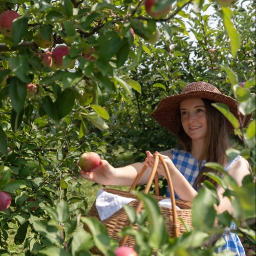 Our Apple Orchard Harvest