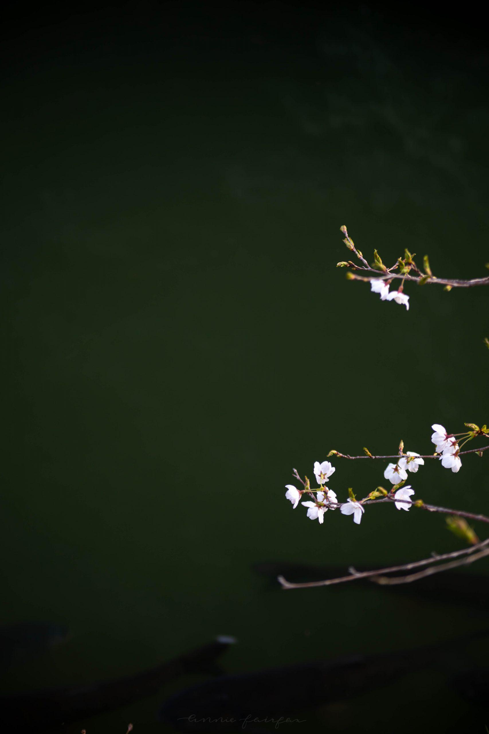 Park at Sunset Near Himeji Castle Cherry Blossom Season in Hemeji Japan by @AnnieFairfax