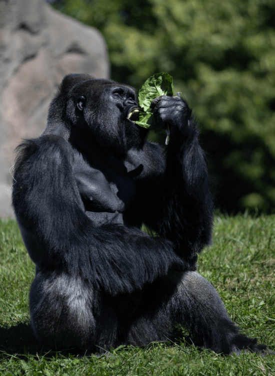 The Detroit Zoo Great Apes of Harambee Silverback Gorilla Photographed by Annie Fairfax