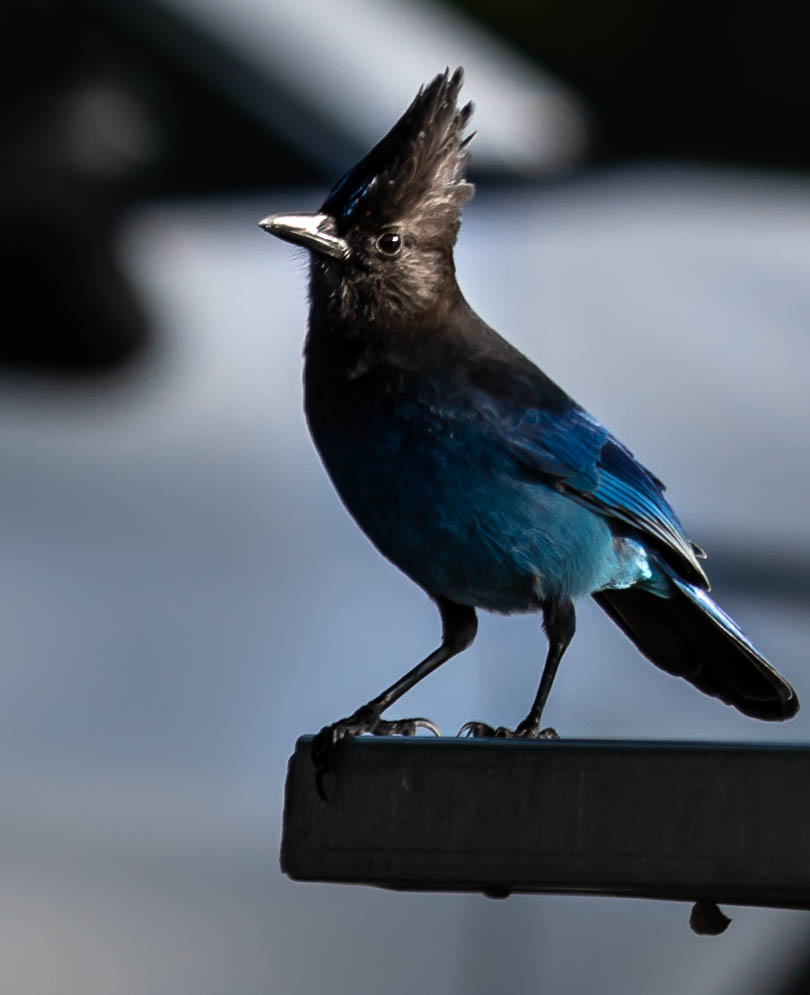 Steller's Jay at Olympic National Park Travel Guide on the Olympic Peninsula in Washington by Annie Fairfax