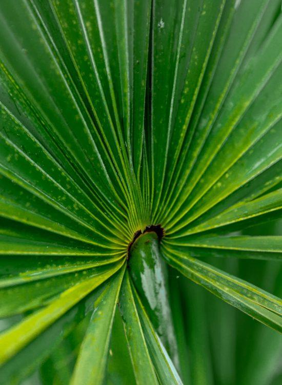 Green Palm Leaf Waldorf Astoria Orlando Golf Club in Orlando Florida Photographed by Annie Fairfax