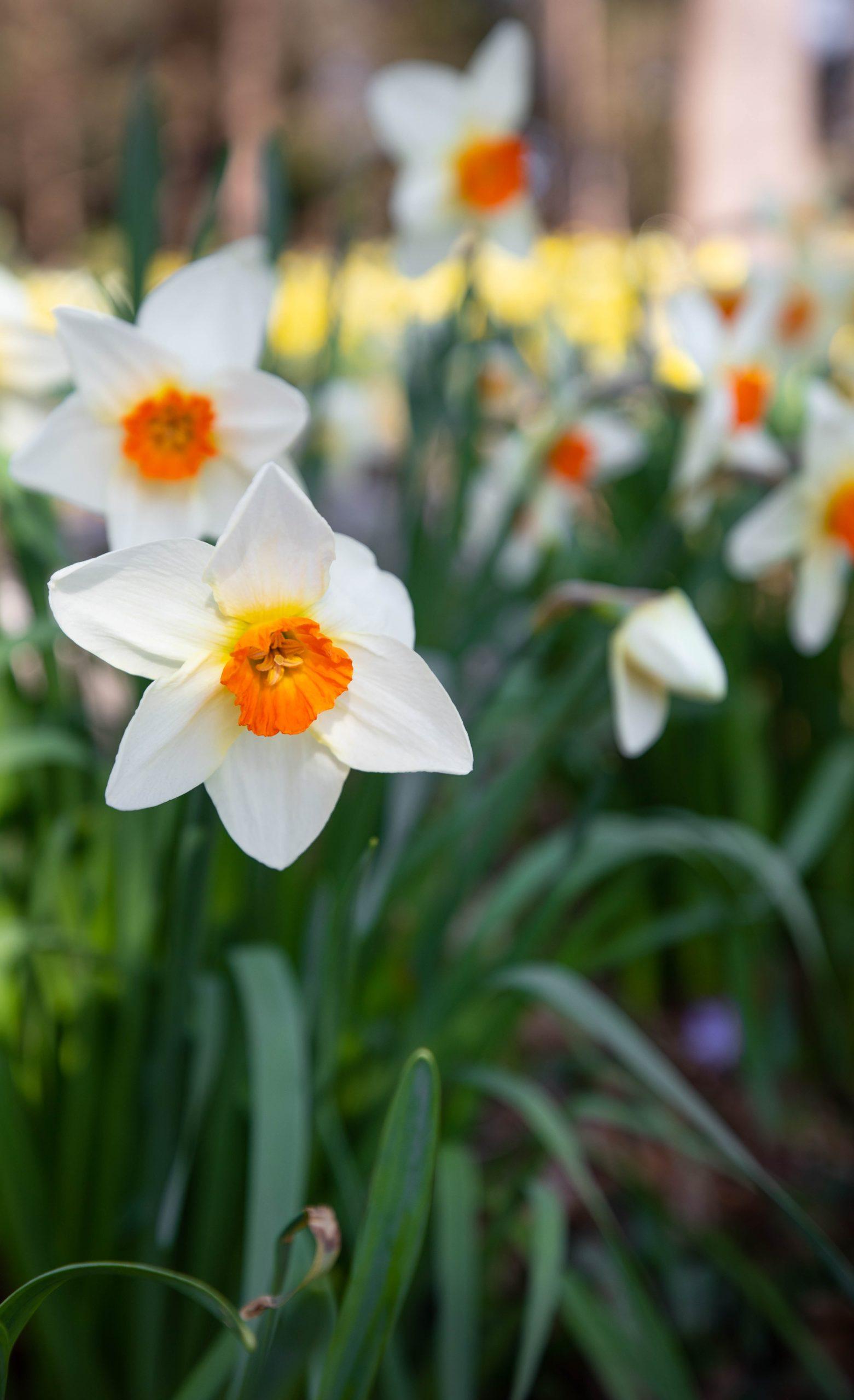 Daffodil Days at Bilthwold Mansion in Newport, Rhode Island by Annie Fairfax