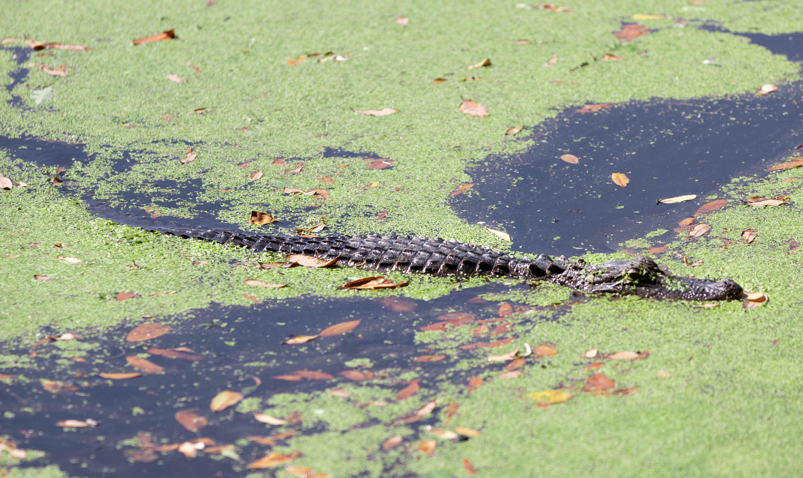 Alligator in Duckweed at Audubon Swamp Garden Inside Magnolia Plantation in Charleston, South Carolina Photographed by Luxury Travel Writer and Photographer Annie Fairfax