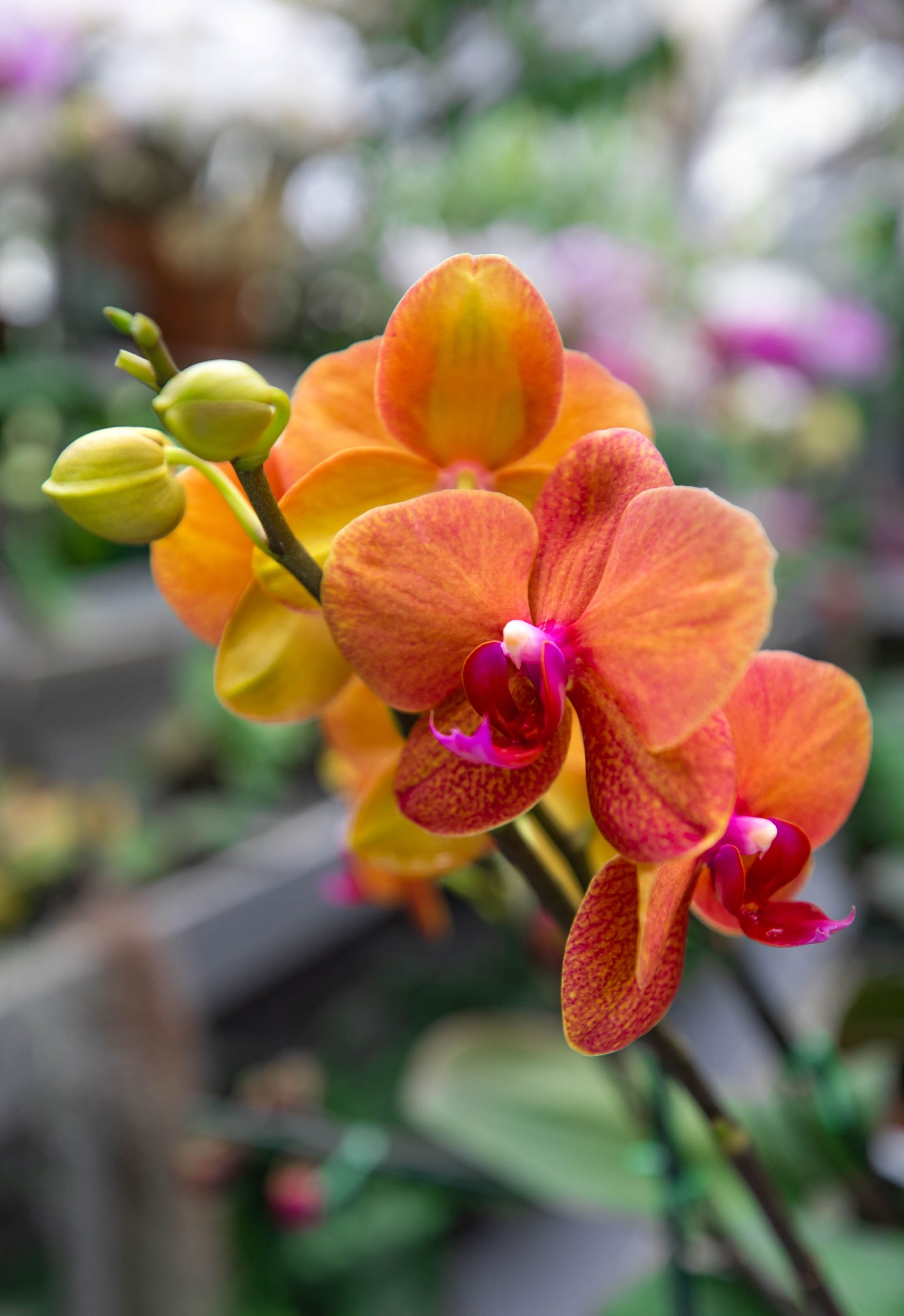 Sunset Orchids at Hillwood Estate, Museum & Gardens in Washington, D.C. by Luxury Travel Writer and Photographer Annie Fairfax