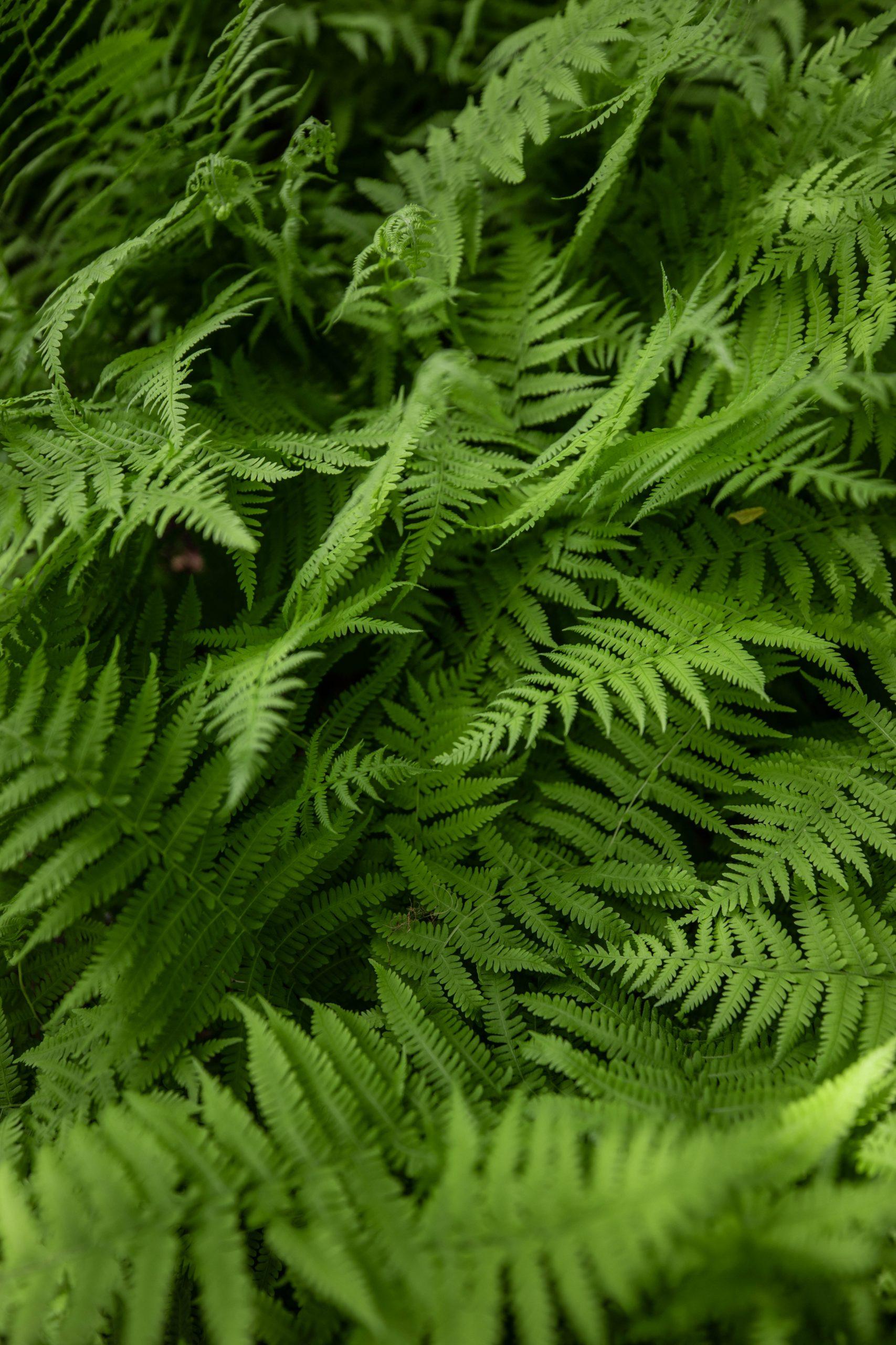 Ferns Wild Gardens of Acadia Botanical Garden inside Acadia National Park Mount Desert Island near Bar Harbor Maine Written and Photographed by Luxury Travel Writer Annie Fairfax