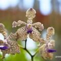 Les belles orchidées du Sri Lanka