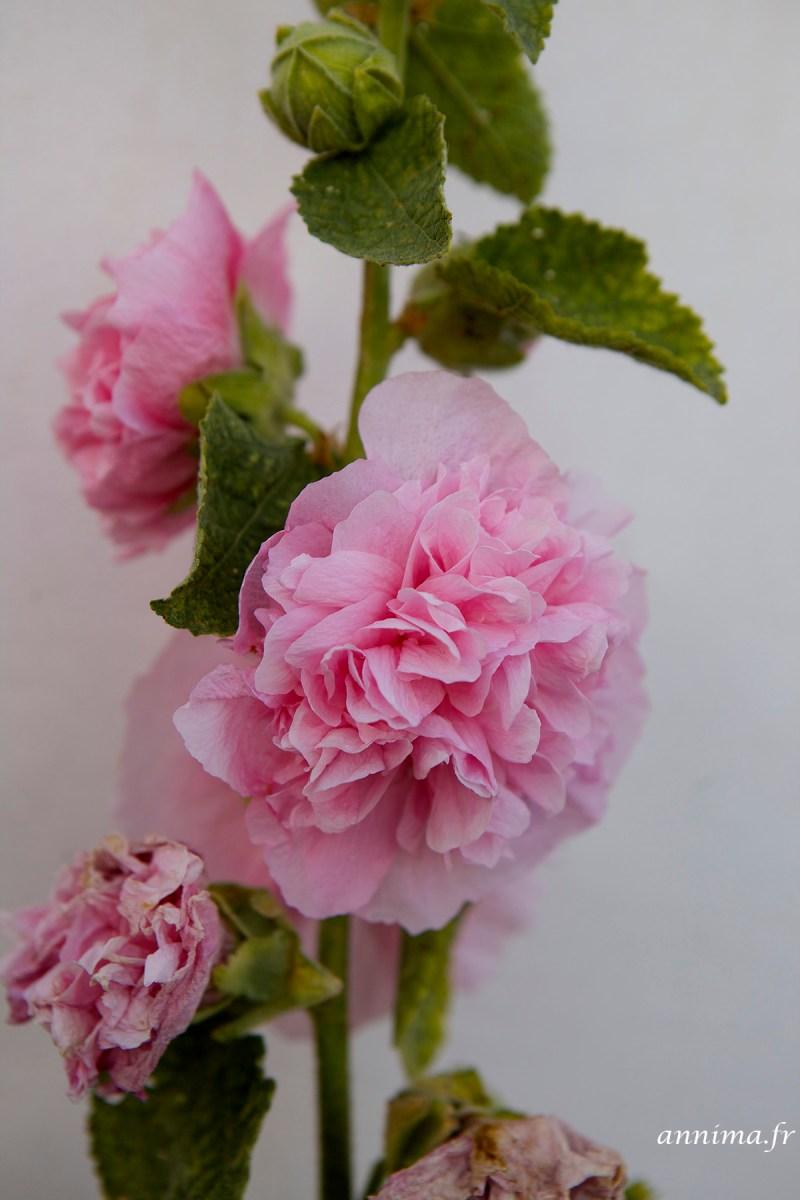 roses-tremieres-Ré2