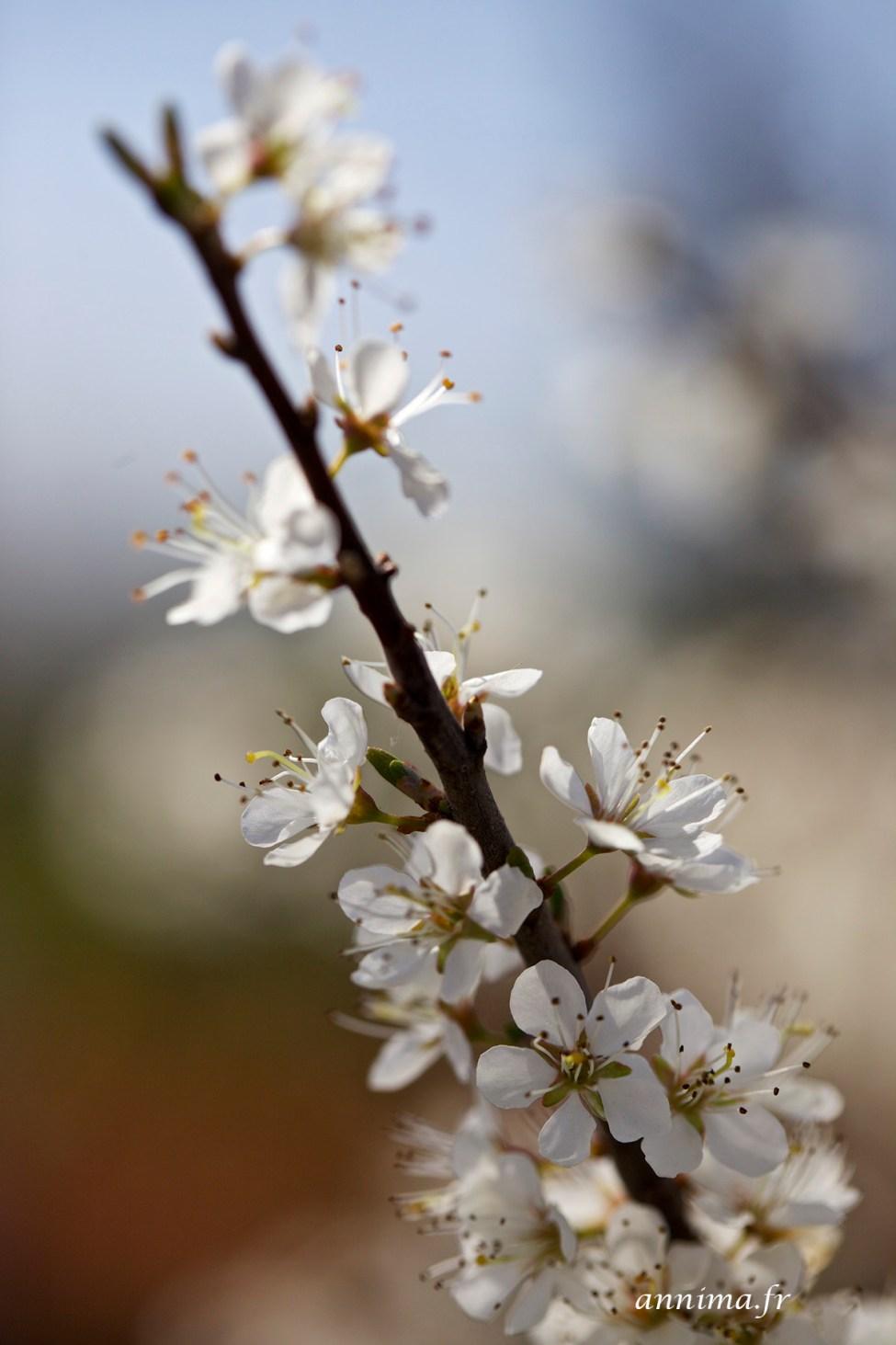 Printemps-fleurs5