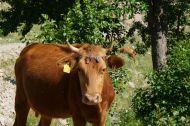 Flower power cow