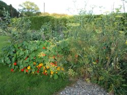 fennel and nasturtium edge of polyculture 2