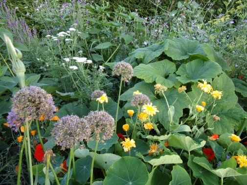 nasturtium, onions, yarrow, courgette, edge of polyculture 2