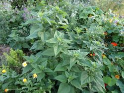 Jerusalem artichoke and flowers in polyculture 2