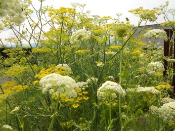 fennel and carrot in flower