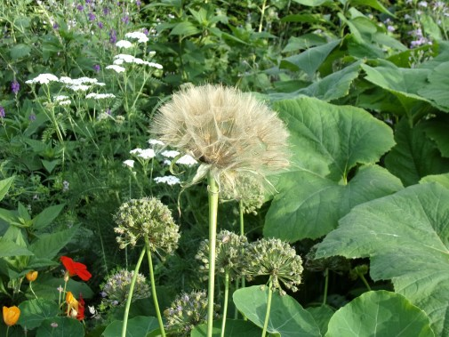 Salsify seed head polyculture 2, August 2016