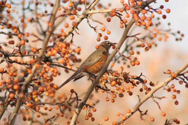 A bird in our pear trees