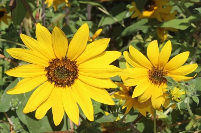 Sun Flowers (5)