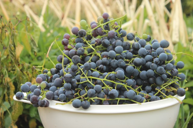 Grape harvest in Orem (1)