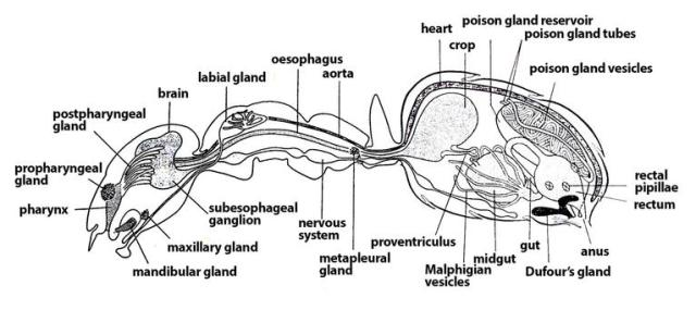 Ant Circulatory System