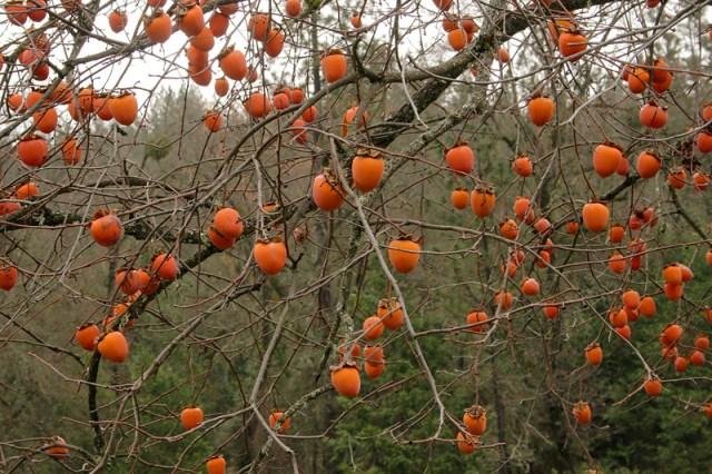 Persimmon Tree 1