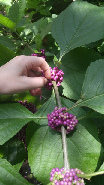 Harvest by running your fingers over the berries, letting them fall into your bowl.