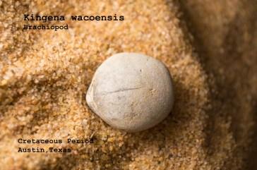 kingena-wacoensis-web