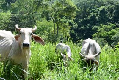 livestock-elsalvador-sneno