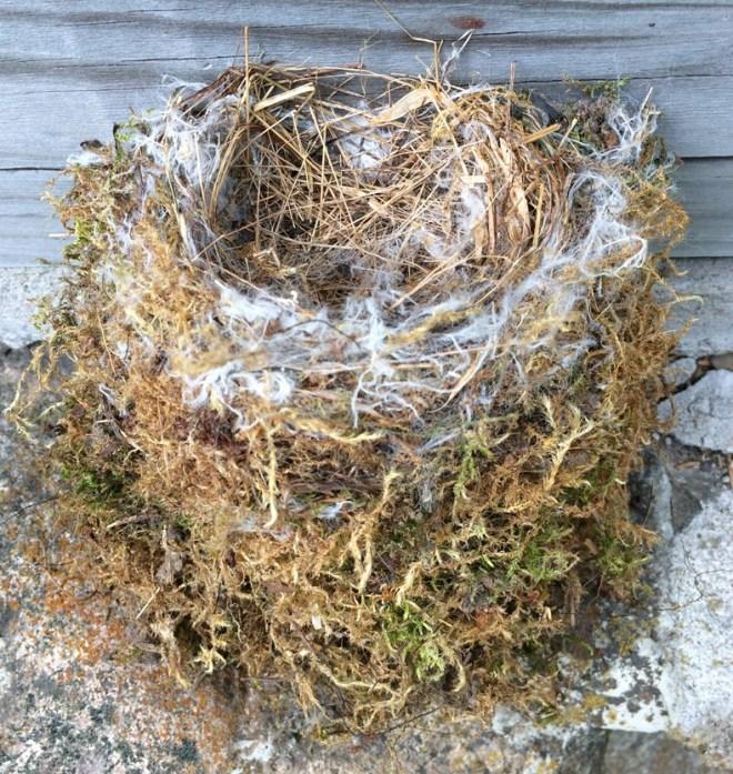 phoebe nest