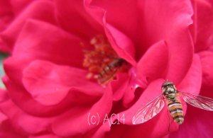 rosenbienen