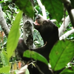 Instagram user @hello.l4wrence who was staying at Uncle Tan's with us snapped this beautiful shot of the elusive Sun Bear.