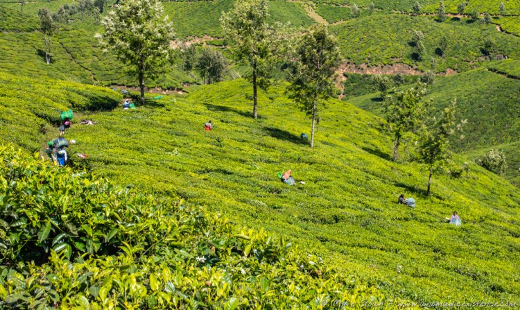 Women harvesting the tea plants in Munnar.
