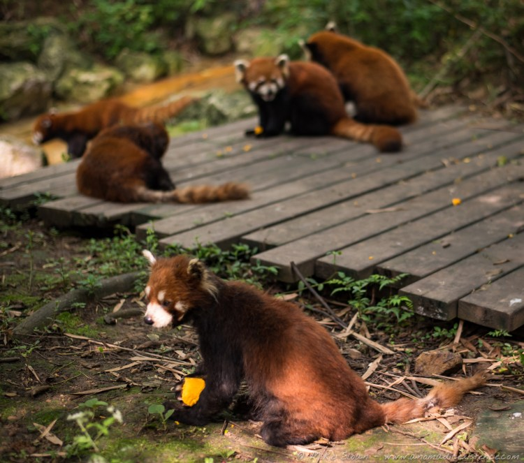 There area also adorable Red Pandas at the Research Centre!
