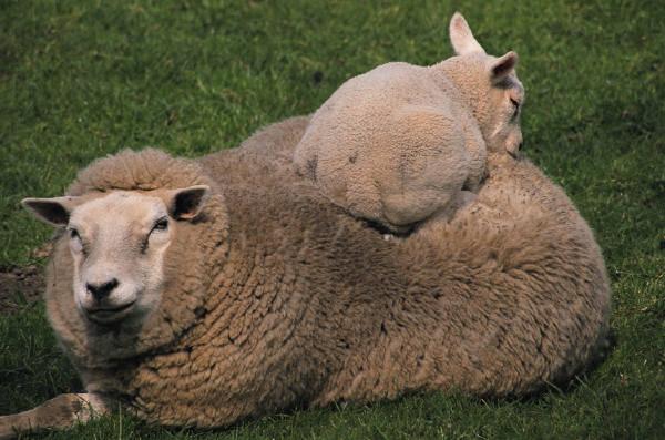 ewe-and-babe