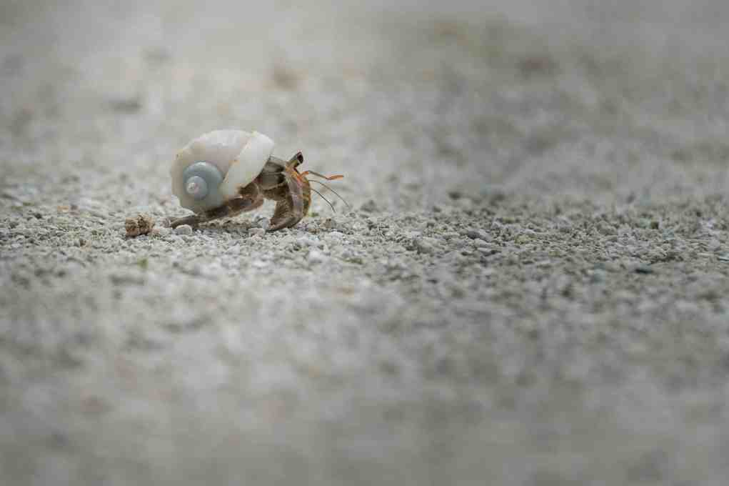 Anantara Maldives Hermit Crab