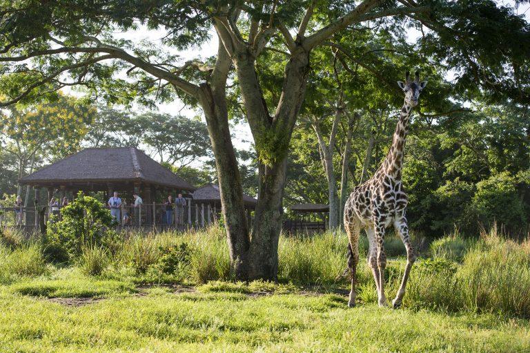 Disney Animal Kingdom Savannah Tour