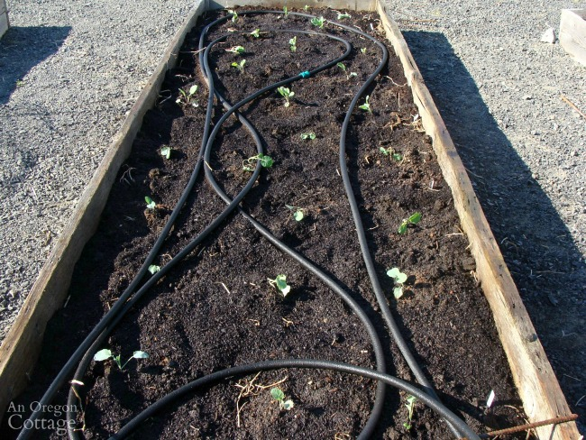 Brassica seedlings planted in raised bed