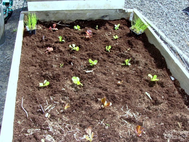 Planting Lettuce Seedlings in an alternating pattern