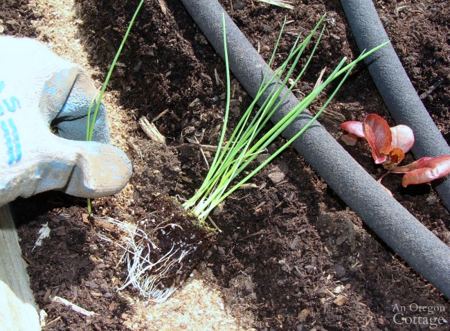 Planting onion seedlings in rows
