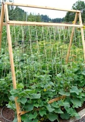 Five Reasons To Grow Cucumbers On A Trellis (And Taking Up Less Space Isn't One Of Them)