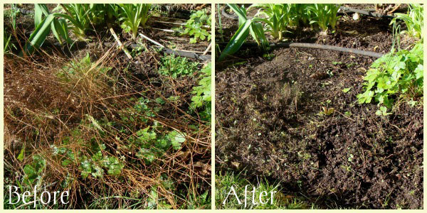 Moonbeam-Coreopsis-before-after